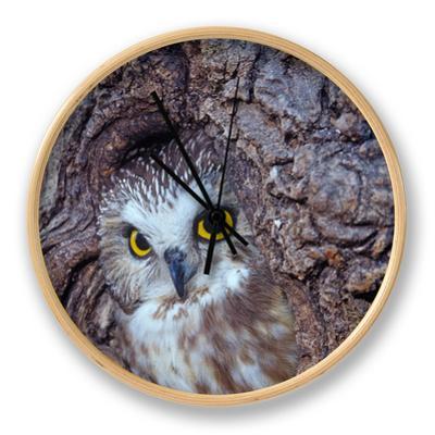 Northern Saw-Whet Owl in a Tree Hollow (Aegolius Acadius), North America