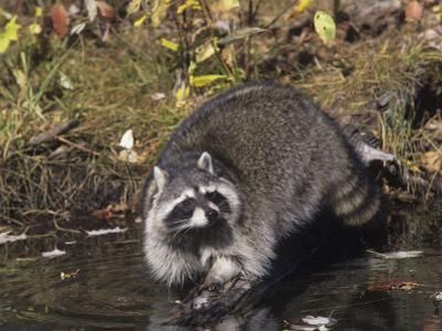 Raccoon Washing its Hands and Food in a Forest Pond or Stream (Procyon Lotor), North America