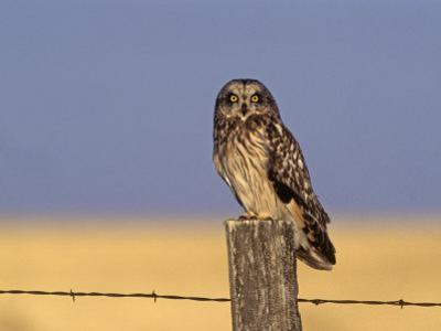 Short-Eared Owl (Asio Flammeus) on a Fence Post, North America
