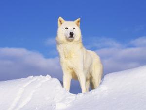 Arctic Grey Wolf in Snow, Idaho, USA by Tom Vezo