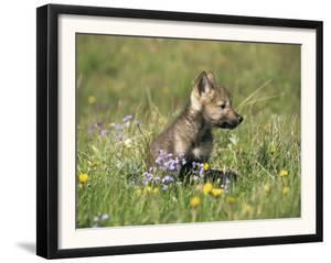 Grey Wolf Pup Amongst Flowers, Montana, USA by Tom Vezo