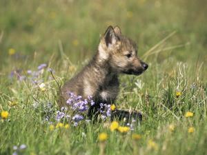 Grey Wolf Pup Amongst Flowers, Montana, USA by Tom Vezo