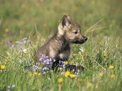 Grey Wolf Pup Amongst Flowers, Montana, USA