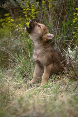 Grey Wolf Pup Howling (Canis Lupus) Captive, Montana, USA by Tom Vezo