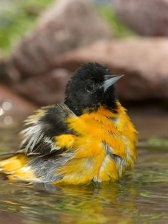 Baltimore Oriole (Icterus Galbula) Male Bathing, Rio Grande Valley, Texas