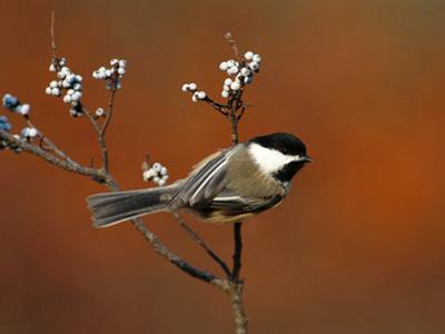 Black-Capped Chickadee (Parus Atricapillus) in Bayberry Bush, Long Island, New York