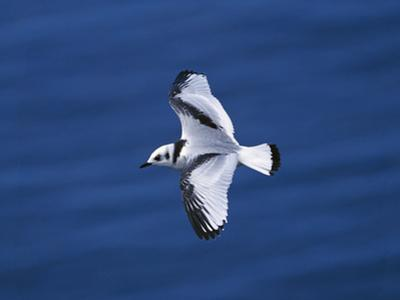 Black-Legged Kittiwake (Larus Tridactyla) Juvenile in Flight, Newfoundland