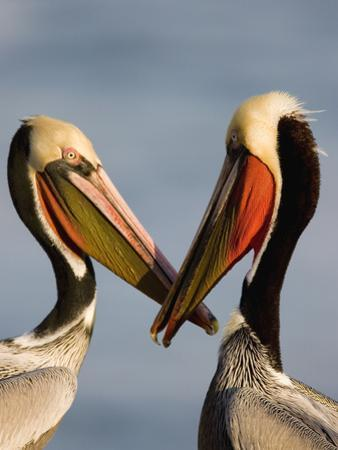 Brown Pelican (Pelecanus Occidentalis) Pair Interacting, California