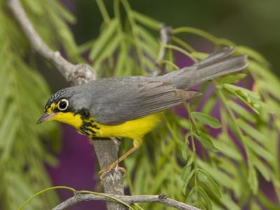 Canada Warbler (Wilsonia Canadensis) Male Perched on Branch, Rio Grande Valley, Texas