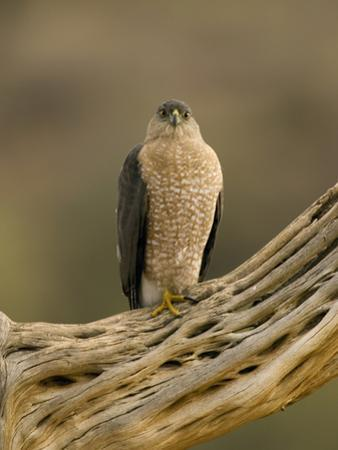 Cooper's Hawk (Accipiter Cooperii) on Saguaro Husk, Green Valley, Arizona