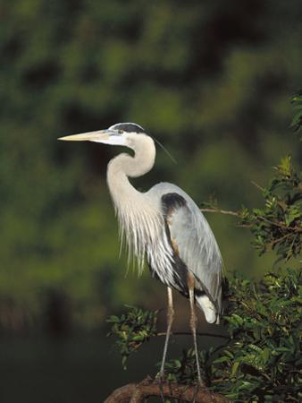 Great Blue Heron (Ardea Herodias) Perching, Florida