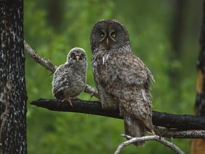 Great Gray Owl (Strix Nebulosa) Adult with Chick, Saskatchewan, Canada