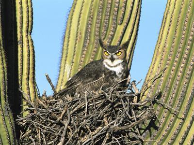 Great Horned Owl (Bubo Virginianus) Nesting in Saguaro (Cereus Gigantea) Cactus, Tucson, Arizona