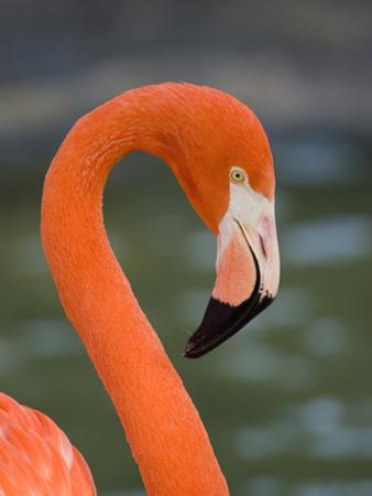 Greater Flamingo (Phoenicopterus Ruber) Portrait, San Diego Zoo, California