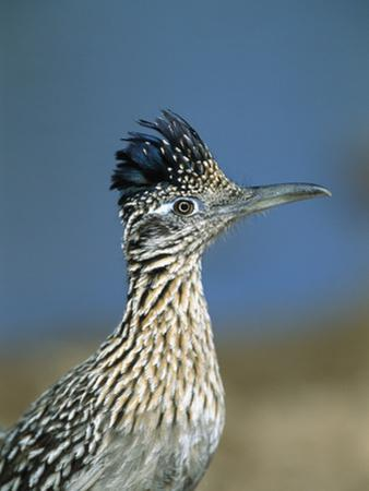 Greater Roadrunner (Geococcyx Californianus) Portrait, Green Valley, Arizona
