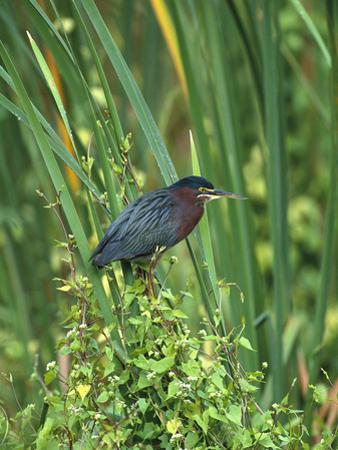 Green Heron (Butorides Virescens) Perching on Reeds, Everglades Nat'l Park, Florida