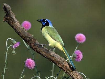Green Jay (Cyanocorax Yncas) Perching, Rio Grande Valley, Texas