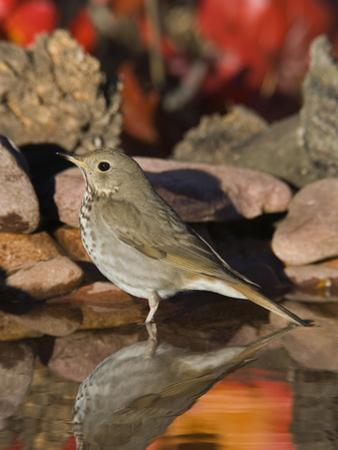 Hermit Thrush (Catharus Guttatus) Standing in Water, Santa Rita Mountains, Arizona