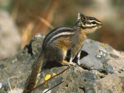 Lodgepole Chipmunk (Tamias Speciosus) Portrait on Rocks, Yellowstone Nat'l Park, Wyoming