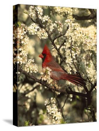 Northern Cardinal (CardinalisCardinalis) in Beach Plum (PrunusMaritima) Tree, Long Island, New York