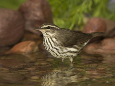 Northern Waterthrush (Seiurus Noveboracensis) Warbler Wading in Water, Rio Grande Valley, Texas