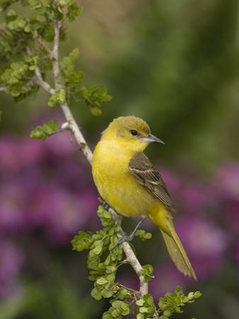 Orchard Oriole (Icterus Spurius) Female, Rio Grande Valley, Texas