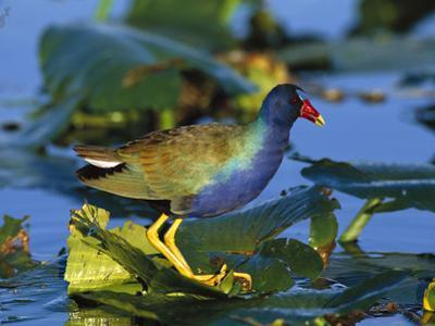 Purple Gallinule (Porphyrio Martinicus) Standing on Lily Pads, Everglades Nat'l Park, Florida