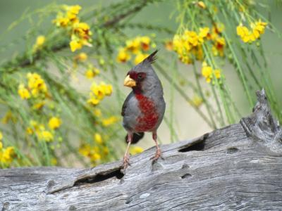 Pyrrhuloxia (Cardinalis Sinuatus) Perching on Log, Rio Grande Valley, Texas