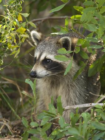 Raccoon (Procyon Lotor) Individual, Florida by Tom Vezo/Minden Pictures