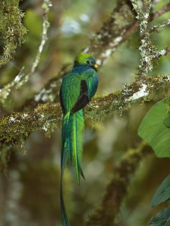 Resplendent Quetzal (Pharomachrus Mocinno) Female Perching in a Tree, Costa Rica