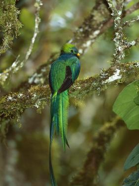 Resplendent Quetzal (Pharomachrus Mocinno) Female Perching in a Tree, Costa Rica by Tom Vezo/Minden Pictures