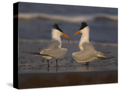 Royal Tern (Sterna Maxima) in Food Exchange Part of Courtship Display, Rio Grande Valley, Texas