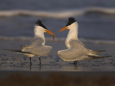 Royal Tern (Sterna Maxima) in Food Exchange Part of Courtship Display, Rio Grande Valley, Texas by Tom Vezo/Minden Pictures