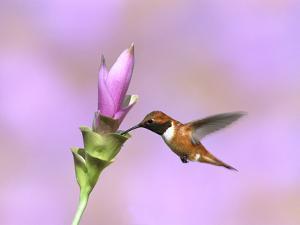 Rufous Hummingbird (Selasphorus Rufus) Male Feeding at Flower, Green Valley, Arizona by Tom Vezo/Minden Pictures