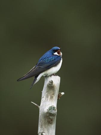 Tree Swallow (Tachycineta Bicolor) Singing from Perch, Long Island, New York