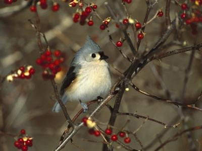 Tufted Titmouse (Parus Bicolor) Perching in Tree, Long Island, New York