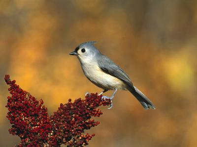 Tufted Titmouse (Parus Bicolor) Perching, Long Island, New York