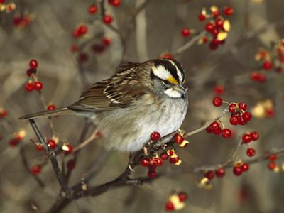 White-Throated Sparrow (Zonotrichia Albicollis) Perched in Bittersweet Bush, Long Island, New York