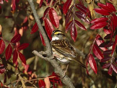 White-Throated Sparrow (Zonotrichia Albicollis) Perching in Bush, Long Island, New York