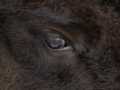 American Bison Eye (Bison Bison) by Tom Walker