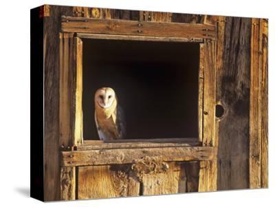 Barn Owl (Tyto Alba) in Barn Window, a Threatened Species, North America by Tom Walker