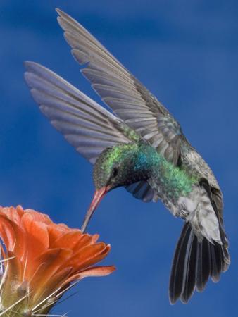 Broad-Billed Hummingbird Male (Cyanthus Latirostris) Nectaring at Claret Cup Cactus Flower by Tom Walker