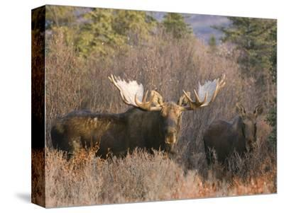 Bull and Cow Moose in Rut in the Autumn Boreal Forest, (Alces Alces), Alaska, USA by Tom Walker