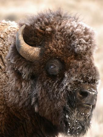 Bull Bison Head in Winter (Bison Bison), North America by Tom Walker