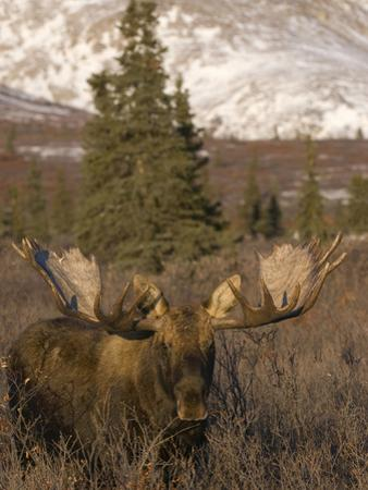 Bull Moose in Early Winter, Post-Rut (Alces Alces), Denali National Park, Alaska, USA by Tom Walker