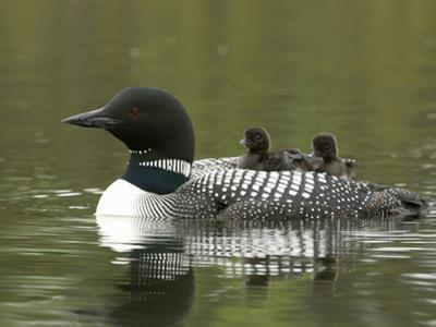 Common Loon with Chicks Riding on its Back (Gavia Immer) by Tom Walker
