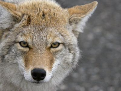 Coyote (Canis Latrans) by Tom Walker