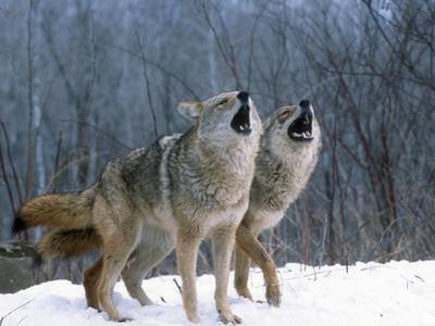 Coyotes (Canis Latrans) Howling, Wyoming, USA by Tom Walker