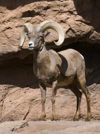 Desert Bighorn Sheep by Tom Walker