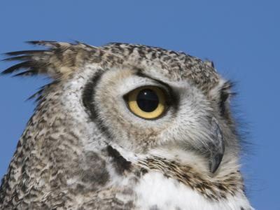 Great Horned Owl (Bubo Virginianus), San Juan Mountains, New Mexico by Tom Walker